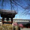 京都 河津桜