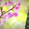 京都の早咲き桜の名所は?