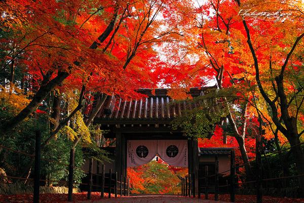 西山三山の一つで、長岡京市にある「光明寺」紅葉