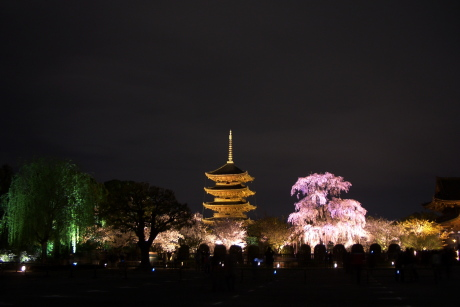 東寺のライトアップは桜が素敵