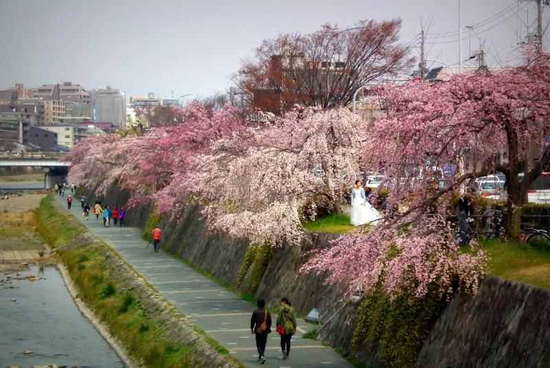 京都の桜の名所・穴場 お教えします。