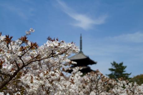 京都の遅咲き桜の代表格、仁和寺の御室桜