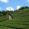 京都の茶畑